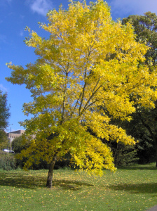 A tree in autumn with yellow leaves