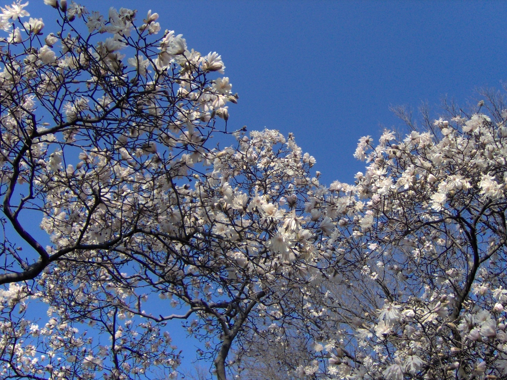 pink spring blossom on trees against a clear blue sky