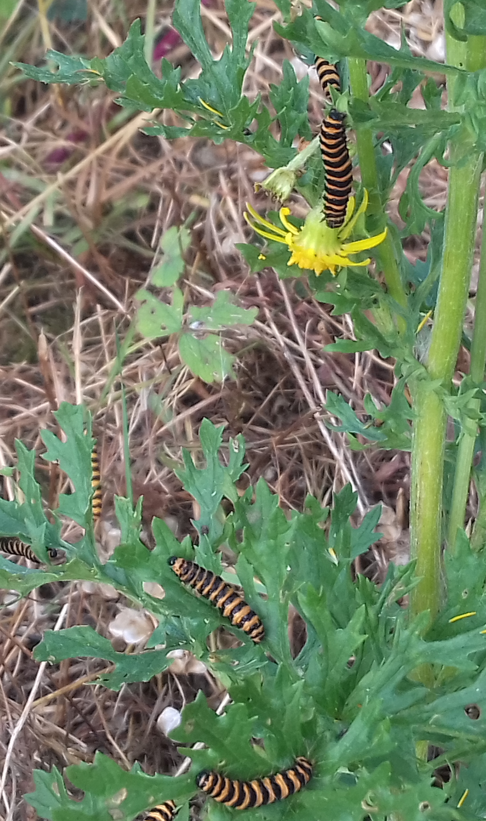 Image is a close-up of several cinnabar moth caterpillars feeding on ragwort. The caterpillars have yellow and black stripes around their bodies.