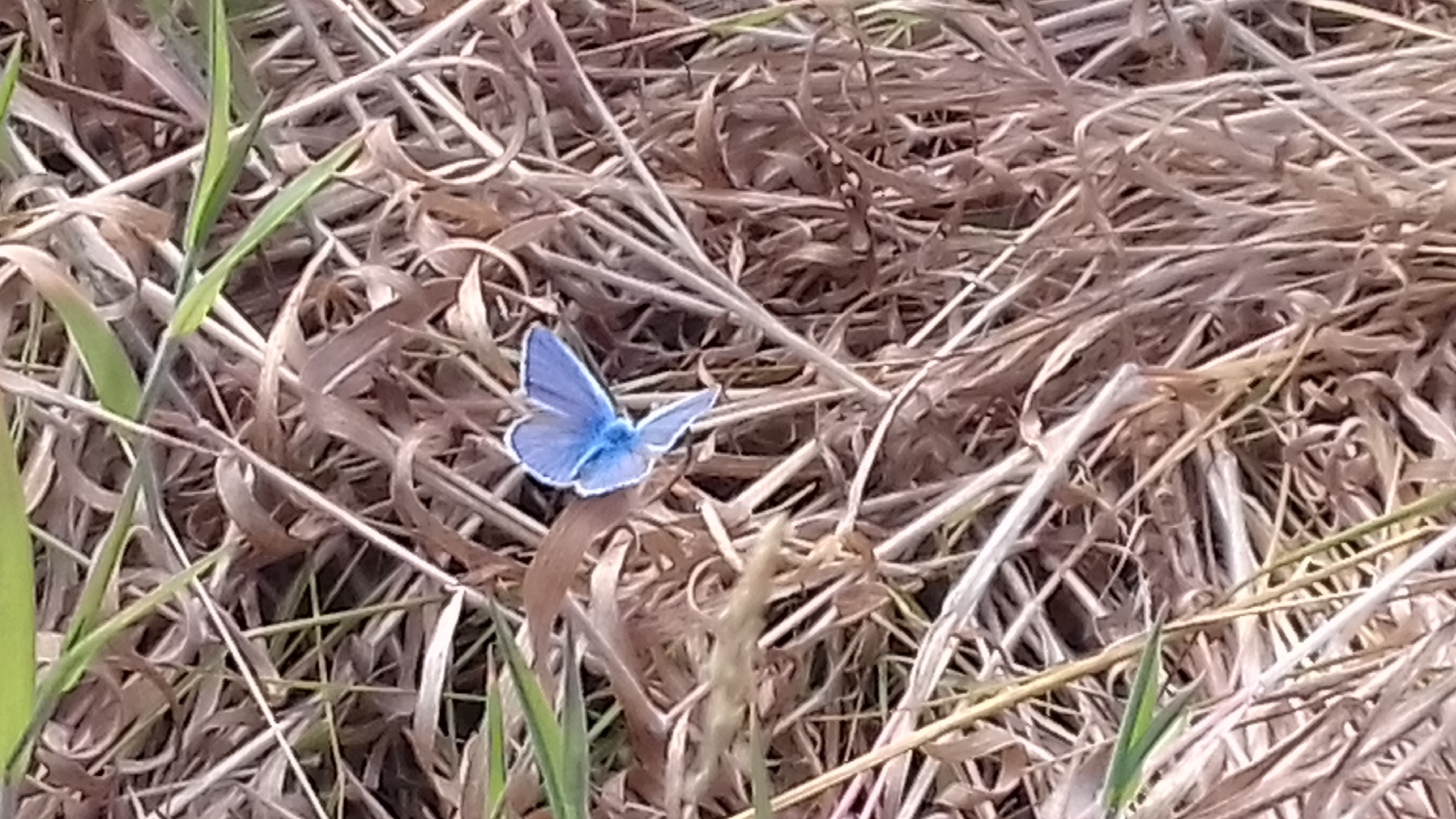 Image shows a British common blue butterfly sunning its wings while sitting on some dry grass. The butterfly's wings are bright blue with white edging.