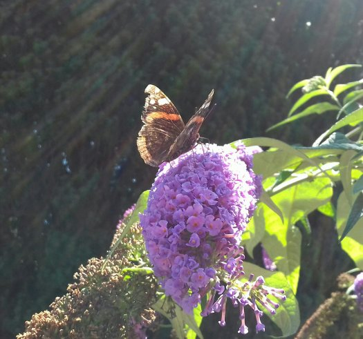 Image shows a red admiral butterfly feeding on a purple buddleia flower in bright sunshine. The butterfly has black wings with things red stripes and large white splodges at the top of its wings