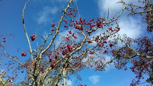 Image shows hawthorn bush covered in red berries against a bright blue sky