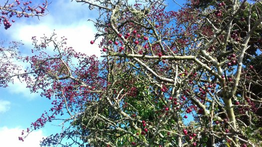 Image shows a hawthorn bush covered in hundreds of red berries against a bright blue sky