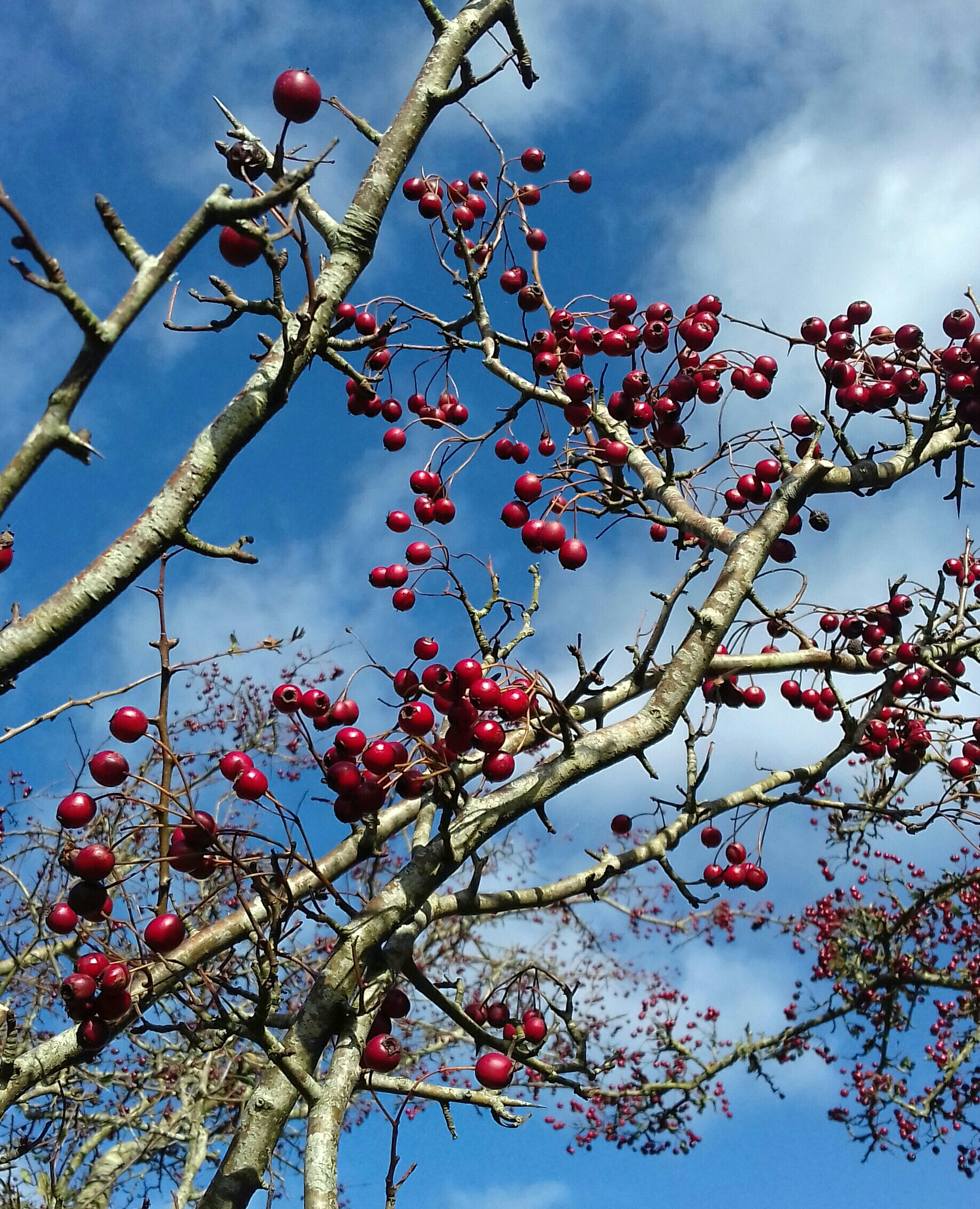 Close up photograph of bright red hawthorn berries on a bush against a blue sky