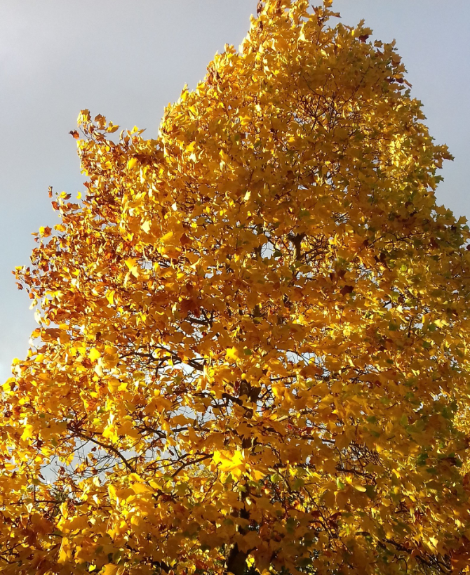 Image shows a tree with all its leaves turned golden in the late afternoon sun
