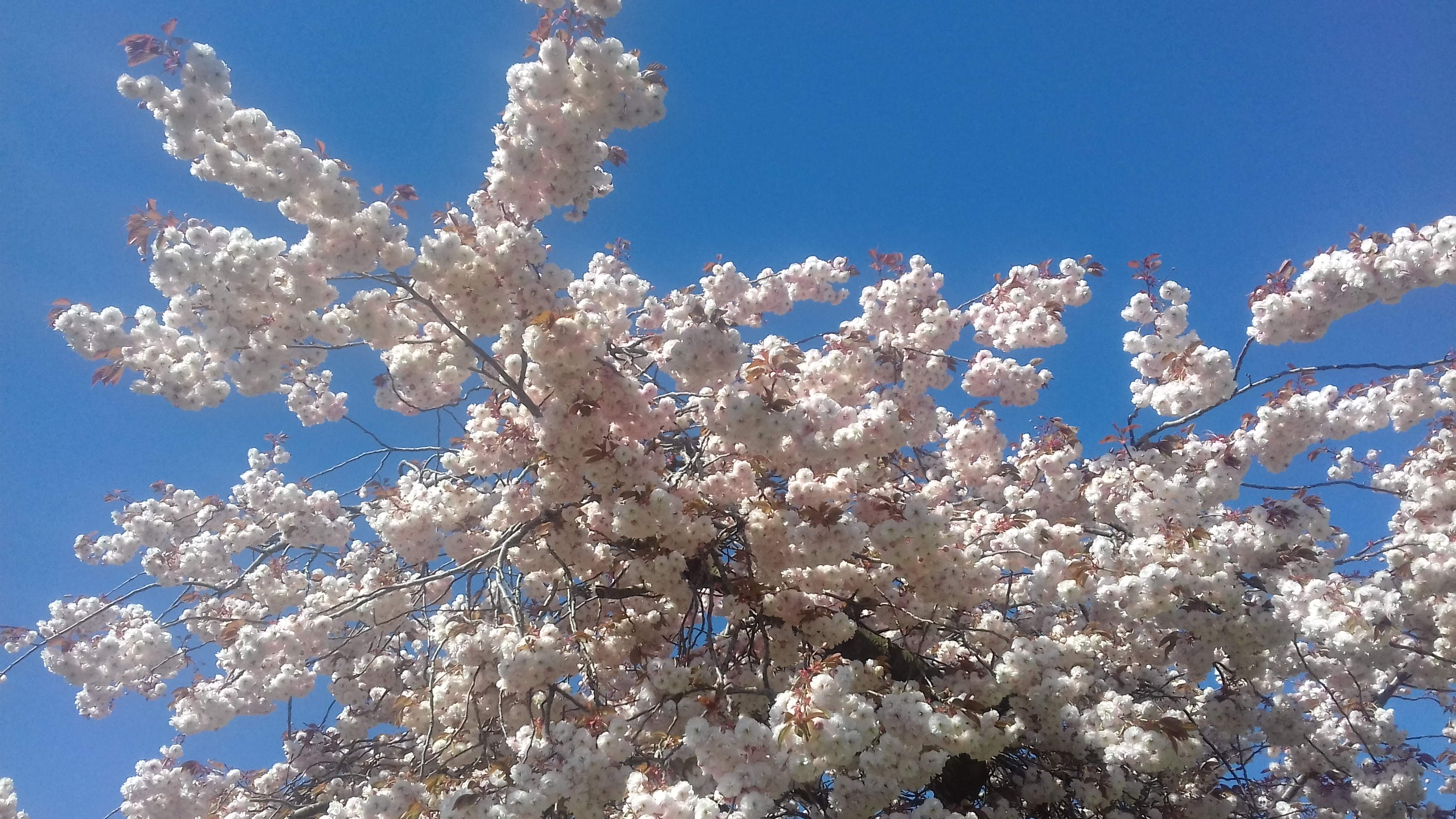 The top of a tree covered in pink cherry blossom against a bright blue sky