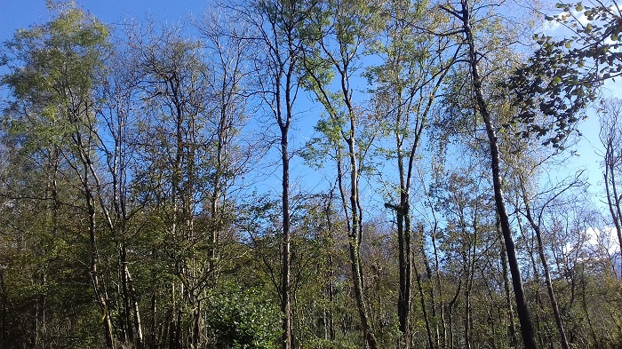 Thin trees with green leaves against a clear blue sky