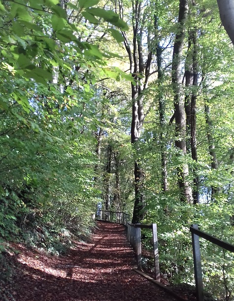 Woodland path winding uphill surrounded by tall tree with green leaves