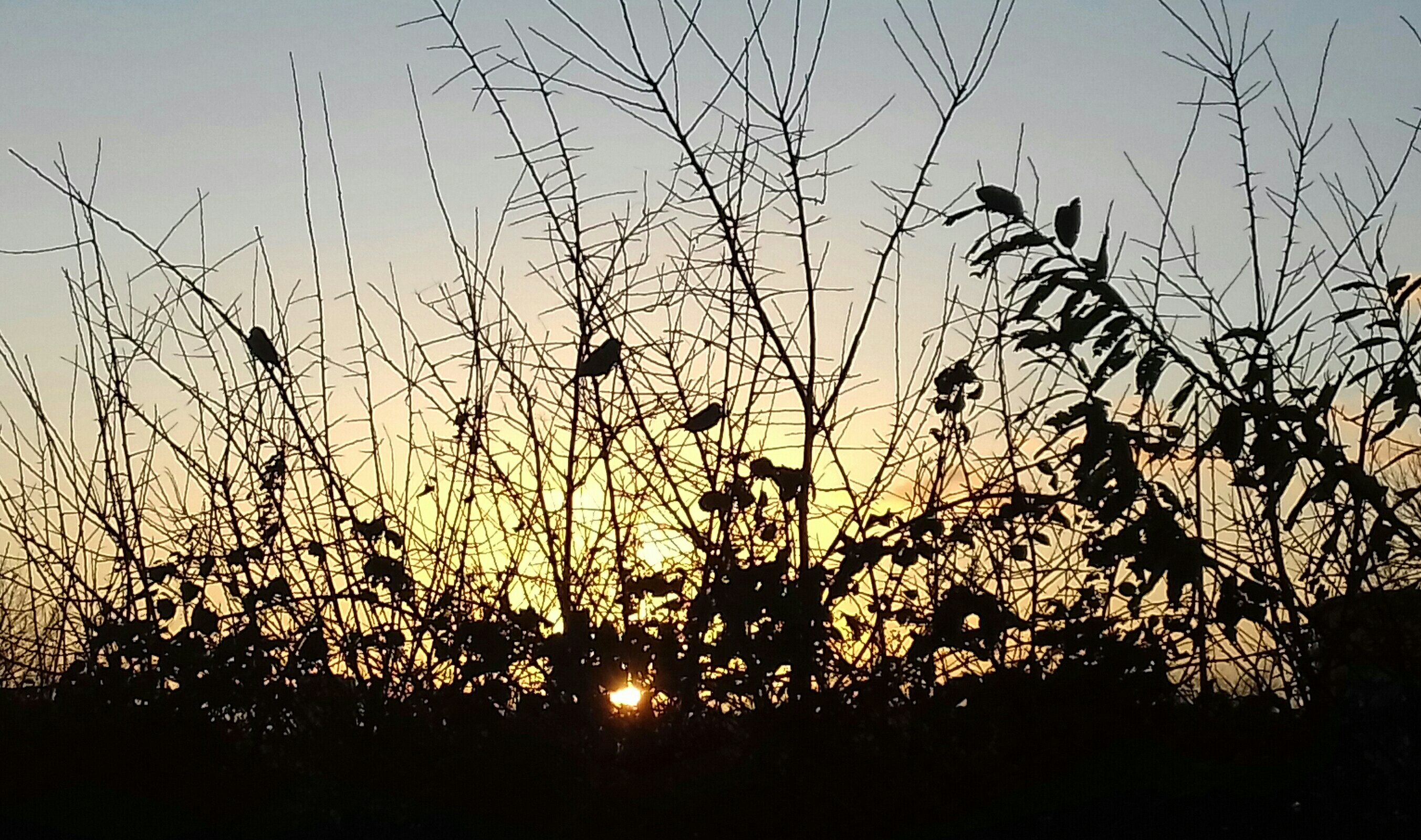 Photograph of three sparrows perched in a hedge silhouetted against a golden sunset