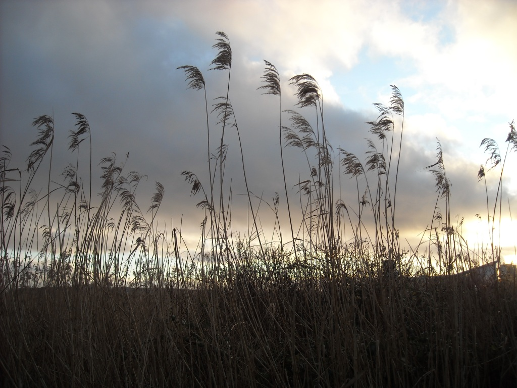 Winter reeds standing against a cloudy evening sky