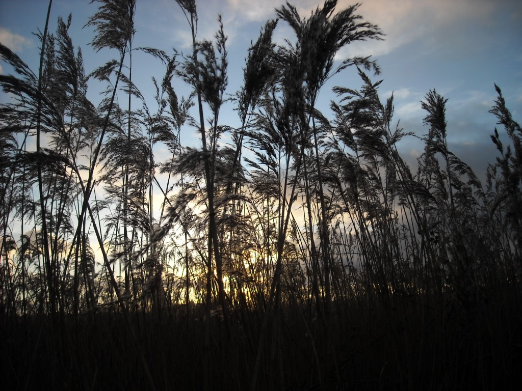 Winter reeds at sunset, in silhouette against a golden sunset