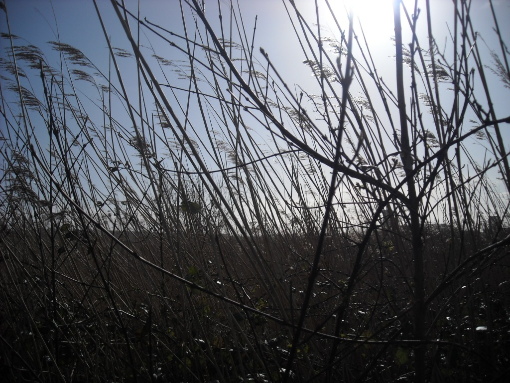 Reeds and thin bare branches against a bright blue sky