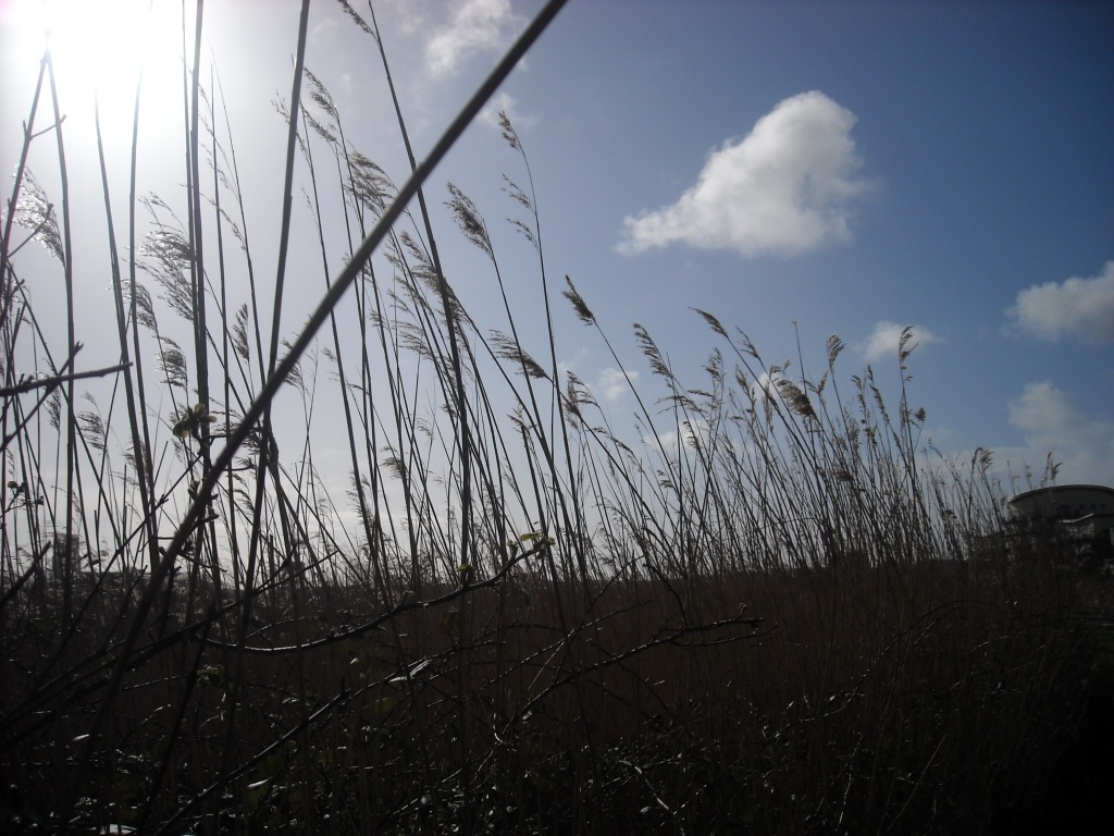 Reeds with a blue sky above with a few fluffy white clouds