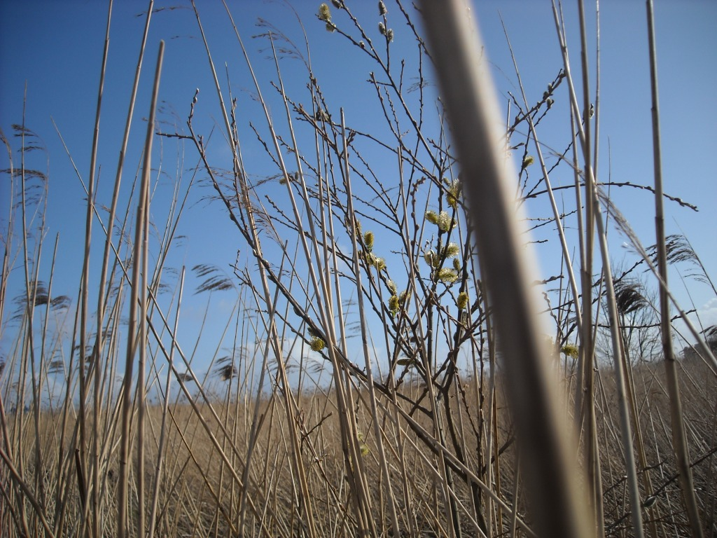 Reeds and a branch with yellow catkins against a bright blue sky