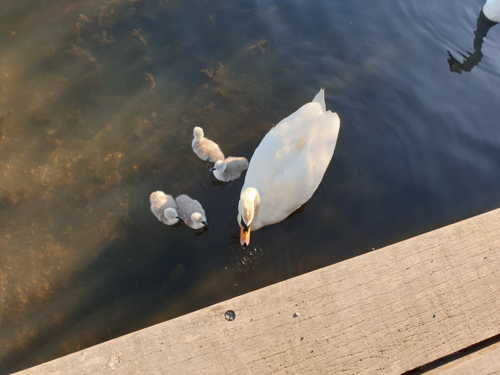 An adult swan swimming on a pong with four very small signets