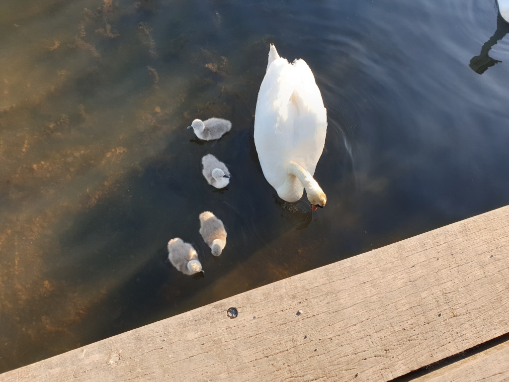 An adult swan swimming on a pond with four very small signets