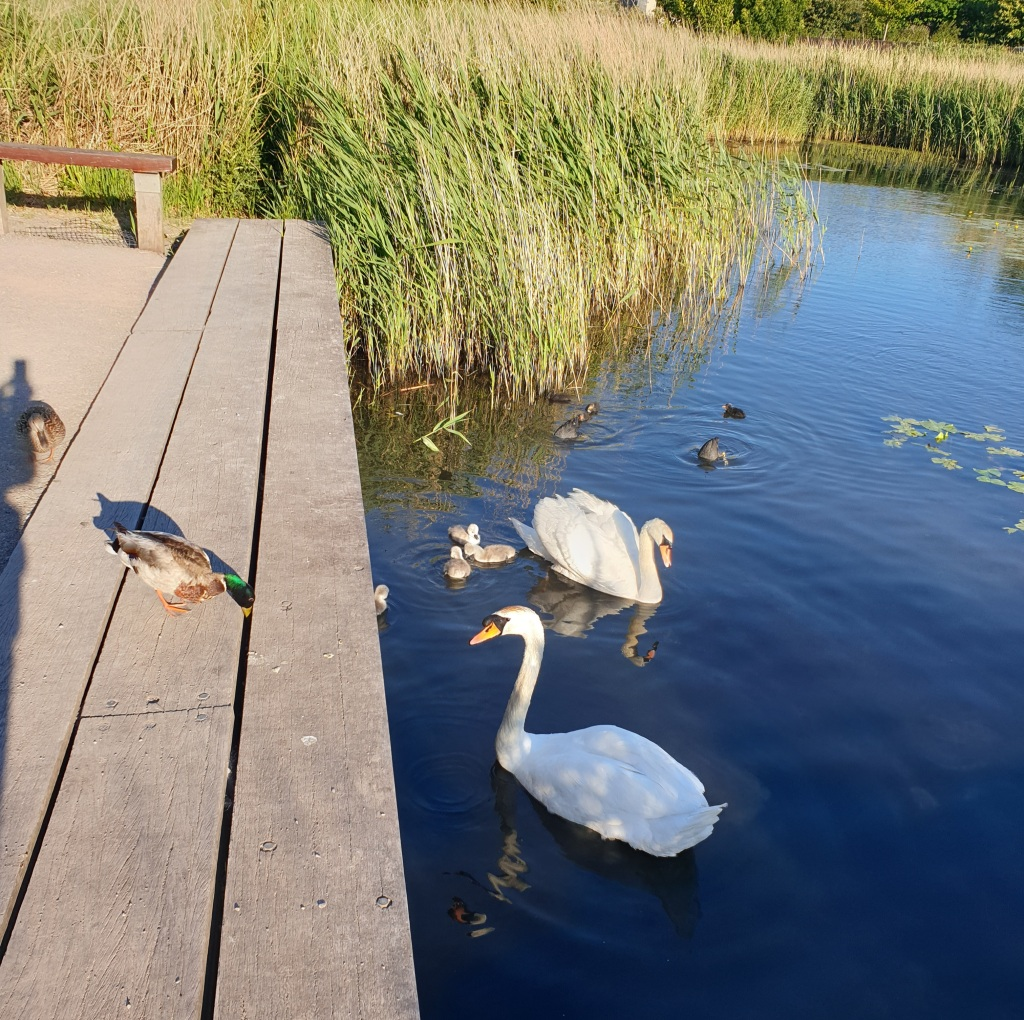 Two adult swans swimming on a pond nnear a boardwalk with four very small signets