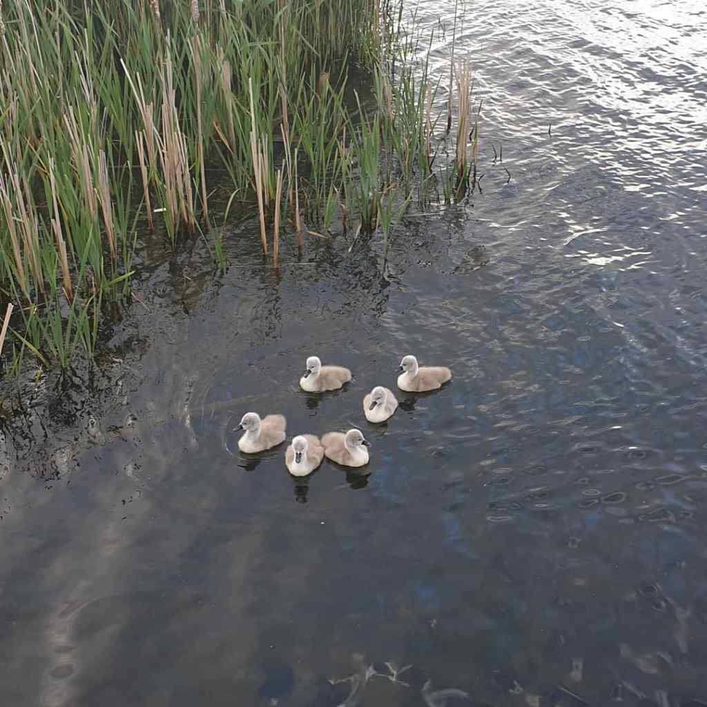 Six fluffy grey signets swimming on a pond