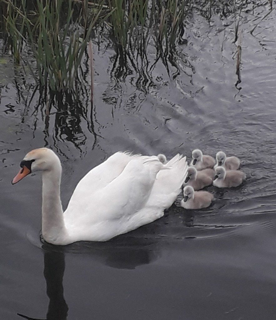 A mother swan swimming forward with six fluffy grey signets close behind her