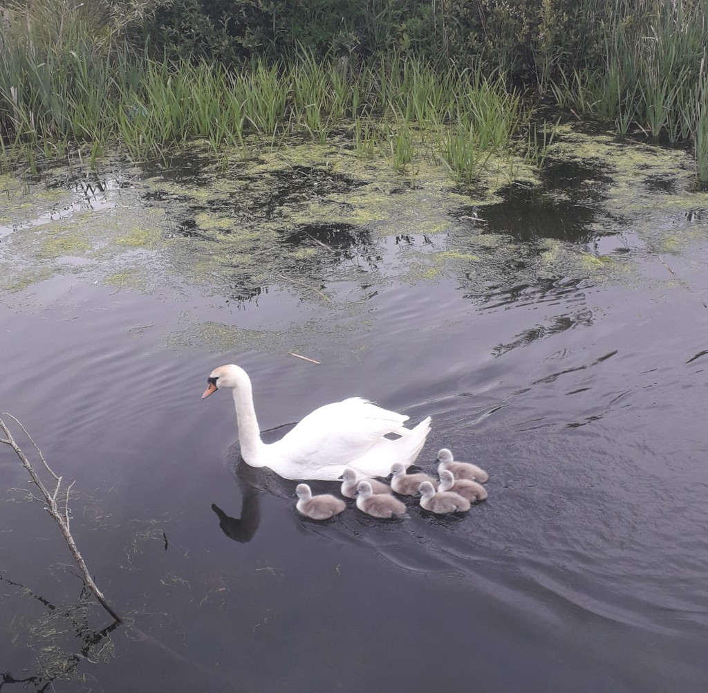 A mother swan swimming away from the camera with seven fluffy grey signets swimming behind her
