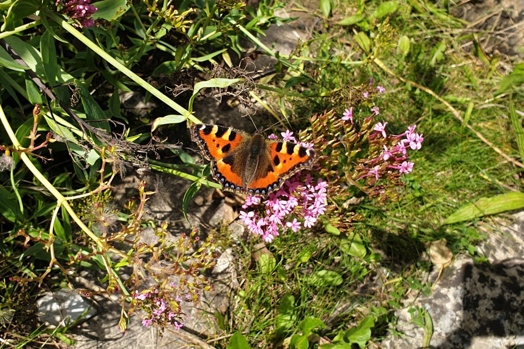 A tortoishell butterfly with its wings open sitting on a pink flower