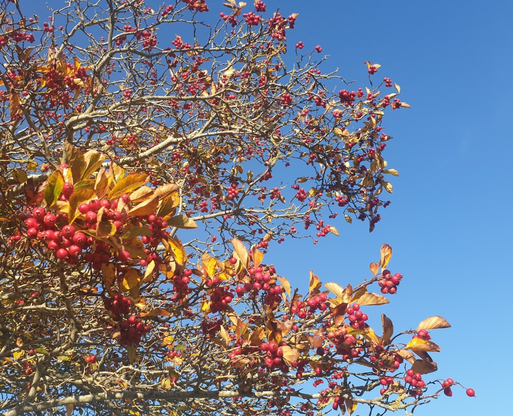 A tree covered in lots of red berries and small orange leaves photographed against a clear, blue sky.
