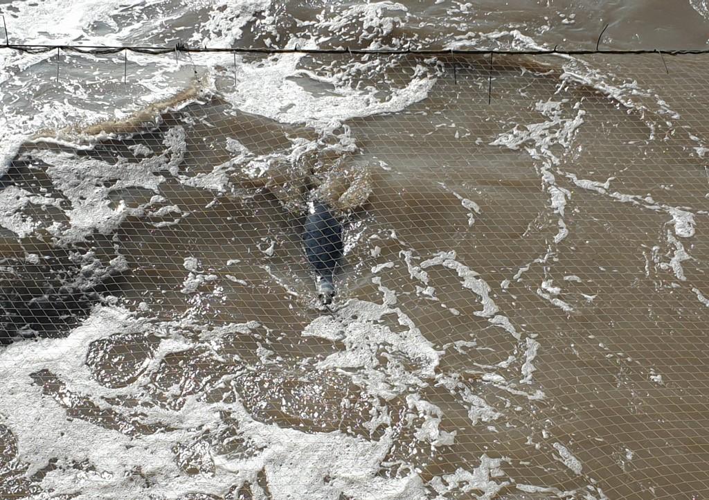A grey seal surfacing in foamy waters