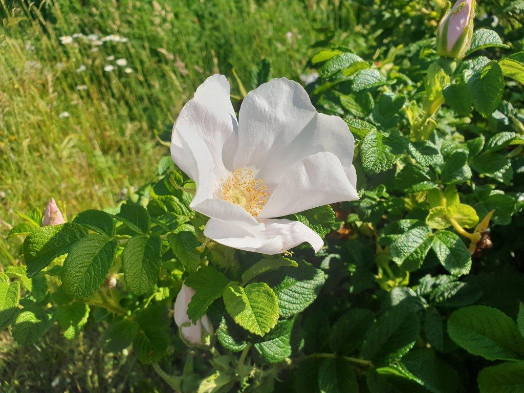Light pink English rose on a bush