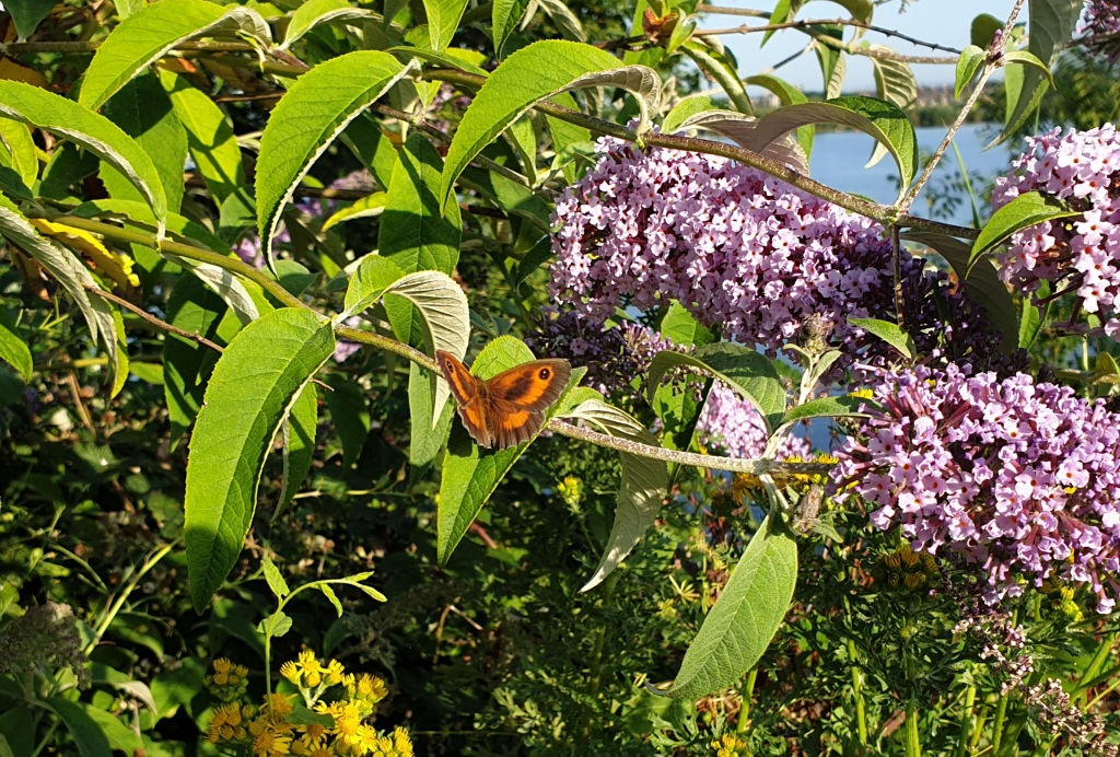A gatekeeper butterfly sitting on a buddleia plant with purple flowers. It has orange wings with brown edges and dark brown spots on the tips.