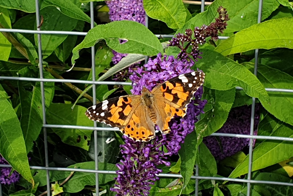 A painted lady butterfly sitting on a purple buddleia flower. It has orange wings with black and white markings on the tips.
