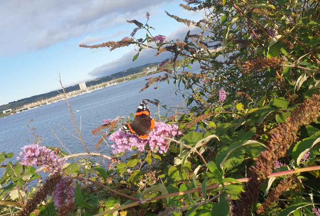 A red admiral butterfly sitting on a purple buddleia flower. It has black wings with red markings and white spots on the tips.